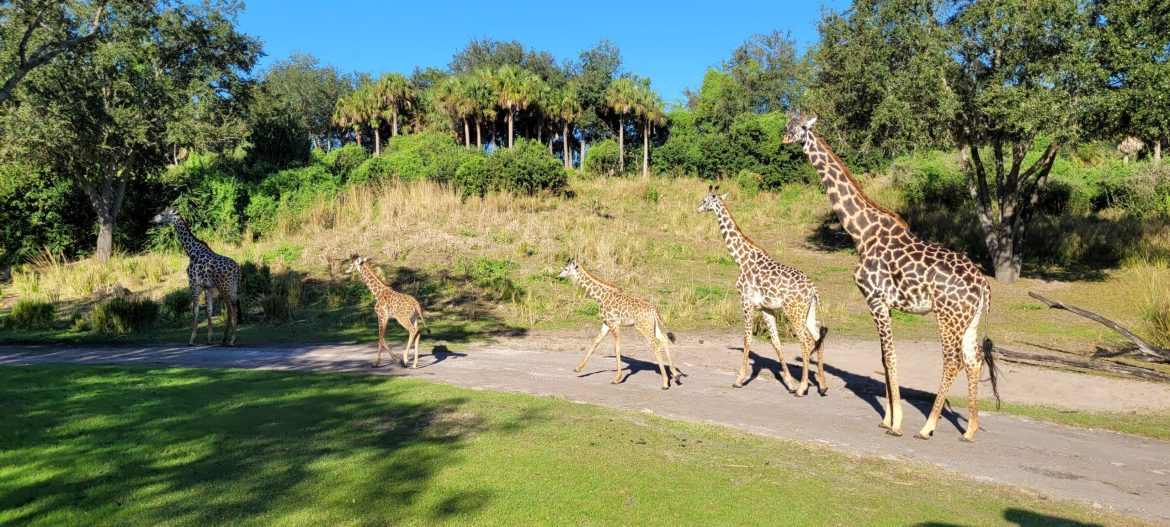 Two new baby Giraffes join the herd at Disney's Animal Kingdom