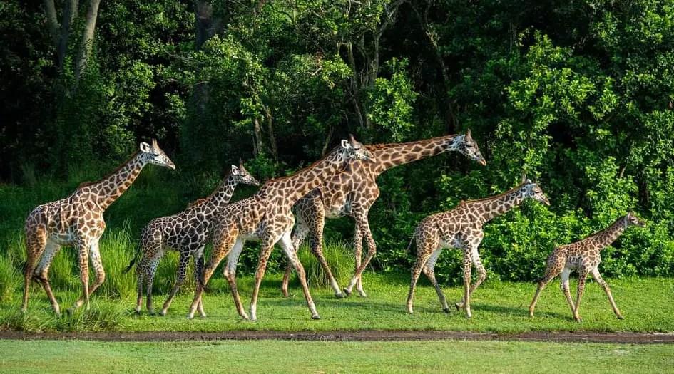New baby giraffe joins her mom on the savannah at Kilimanjaro Safari