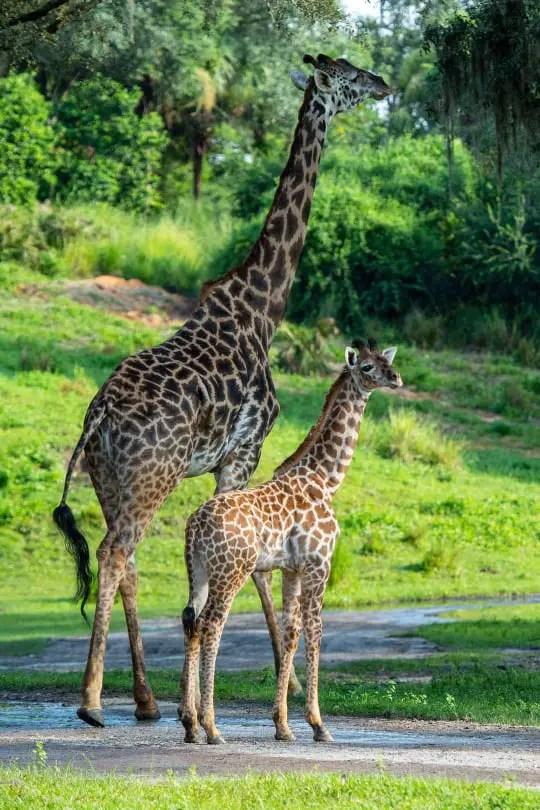New baby giraffe joins her mom on the savannah at Kilimanjaro Safari 2