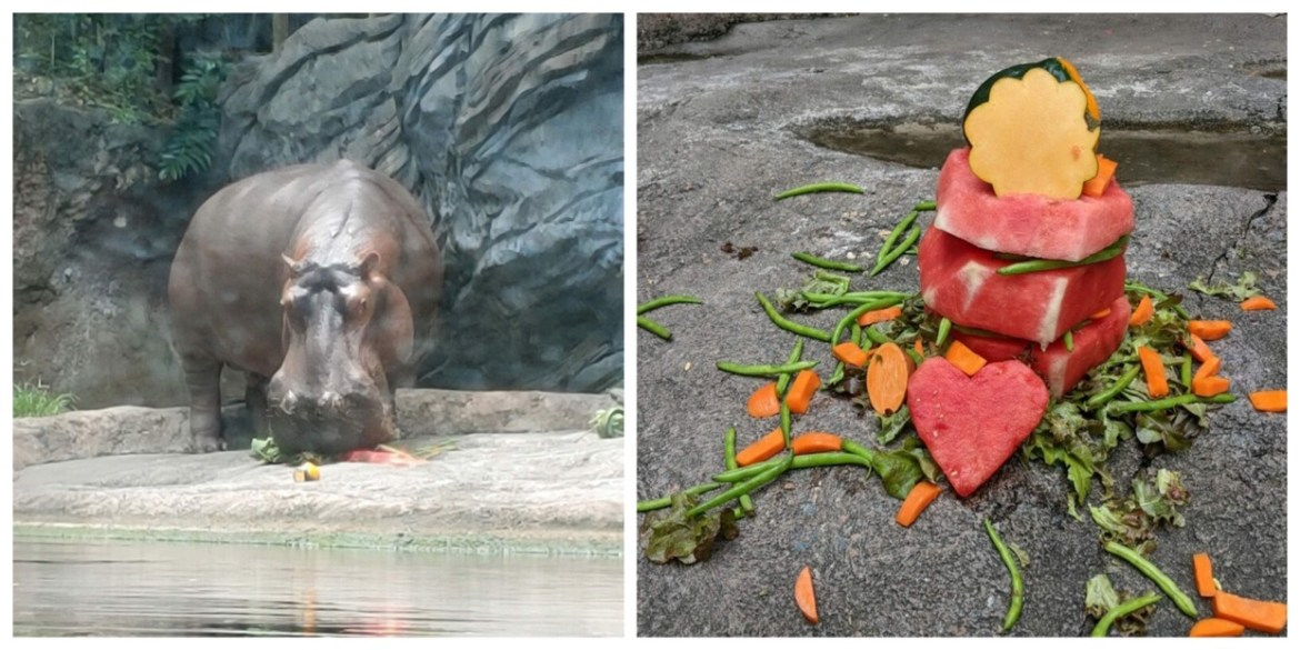 Disney Cast Members celebrate Henry the Hippo's 26th Birthday with a special treat