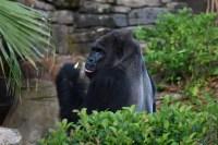 Gorilla throws poop