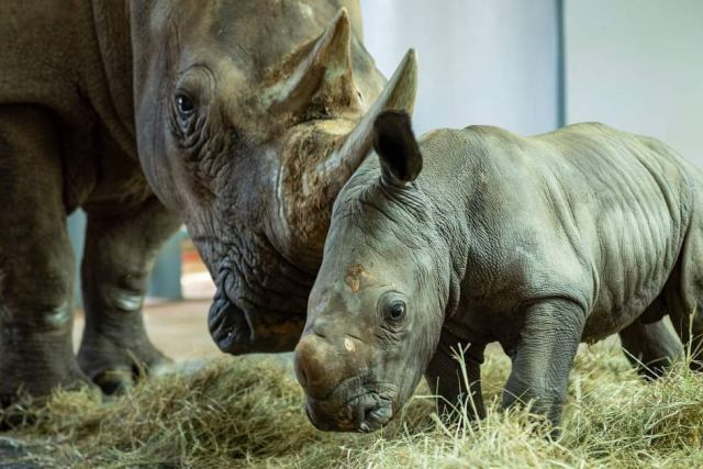 Disney's Animal Kingdom announces the arrival of new baby white rhino 1