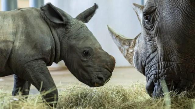 Disney's Animal Kingdom announces the arrival of new baby white rhino 2