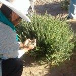 Fortalecimiento de pastos nativos en Ayparavi