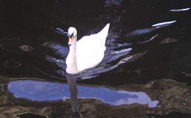 swan in Dodder