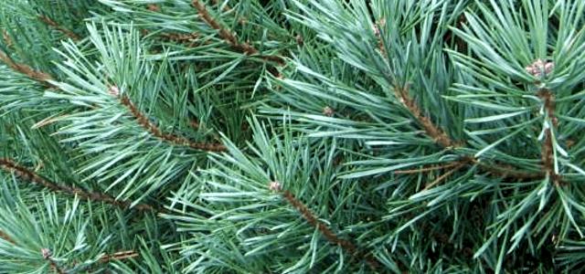 scotch-pine