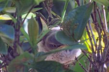 Baby mockingbird in a bush outside the window. Mom brought it tasty treats all day.