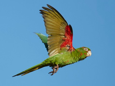 Cuban Parakeet 2 Birdwatching in Cuba