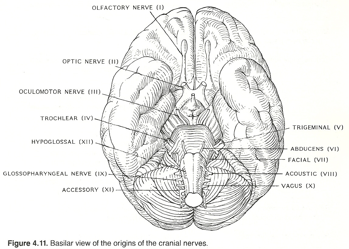 The Glossopharyngeal Nerve