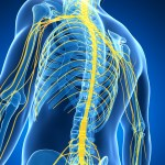 spinal cord, nerves, neurology