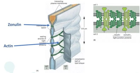 Actin cell structure