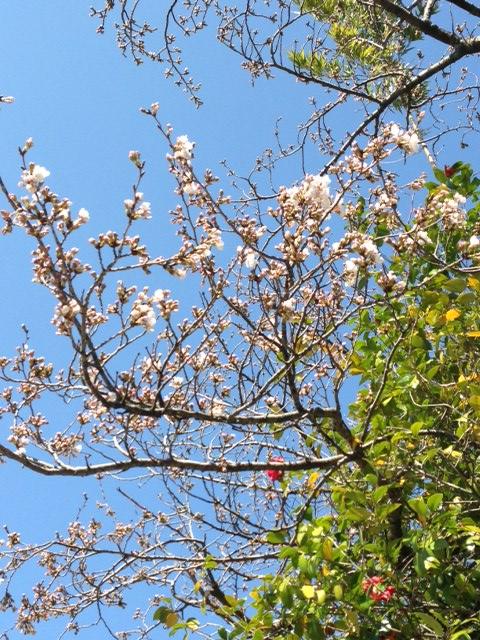 牟呂八幡宮の桜、開花