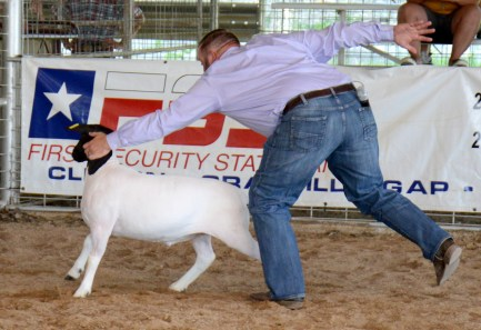 Judge Beau Stutts catches a lamb on the loose during the Central Texas Youth Fair Market Lamb Show, Friday, June 5.