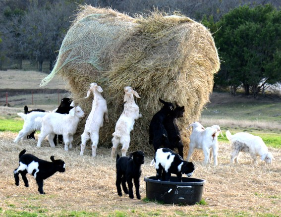 Goats take on a hay bale.