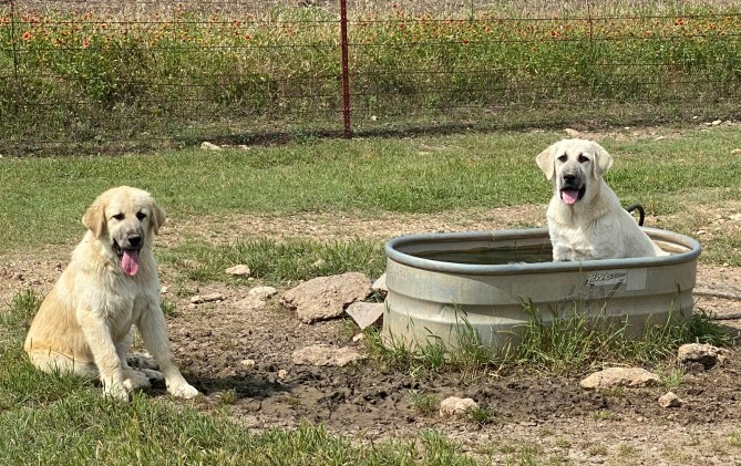 New flock tenders Maggie and Tess – two-month old Anatoles – enjoy cooling off in a trough at the Mary Ann and Dacey Goat Patch.