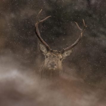 Stag over hill