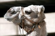 camel-bridle-animal-head-162283