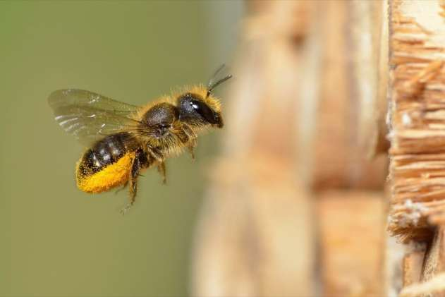 Andy Sands Wildlife photographer Blue Mason Bee Osmia caerulescens