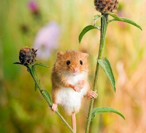 Andy Sands Wildlife photographer Harvest Mouse - National Trust Poster Image