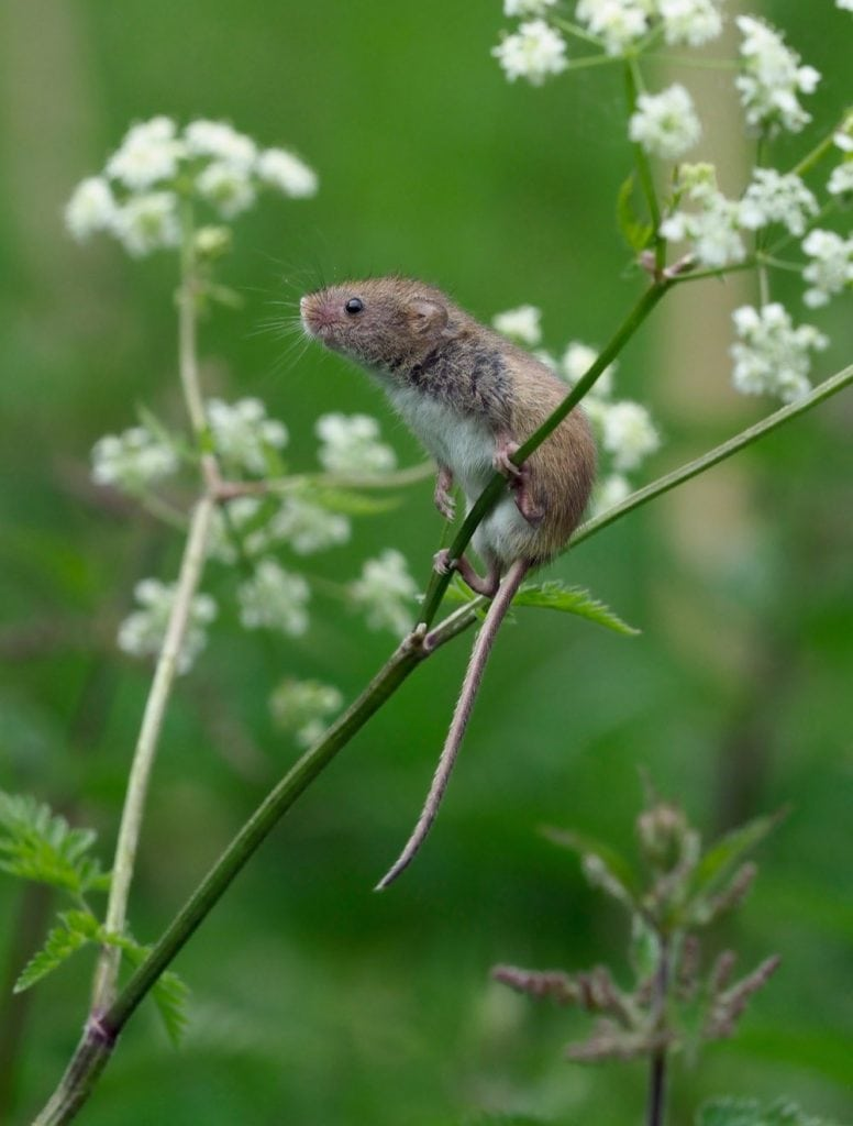 Andy Sands Wildlife photographer Harvest Mouse