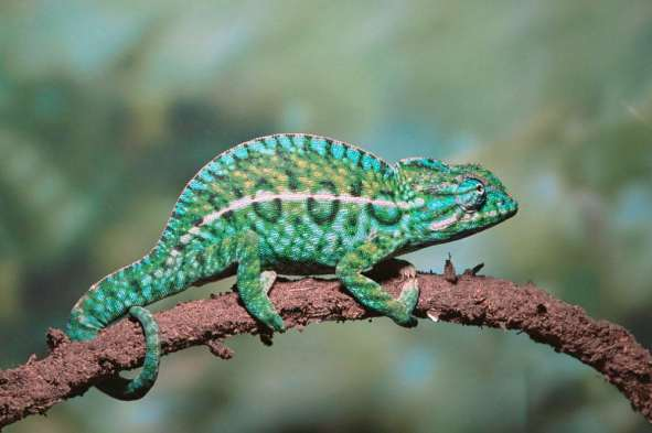 Andy Sands Wildlife photographer Jewel chameleon