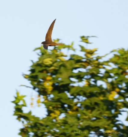 Swift skimming Treetops Jon Perry