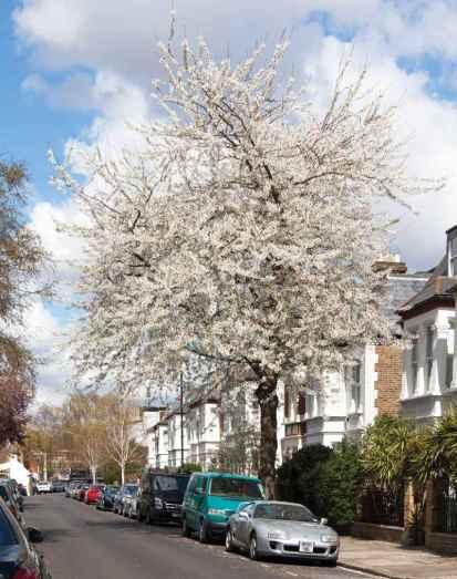W4 Cherry - Prunus avium 'Plena'