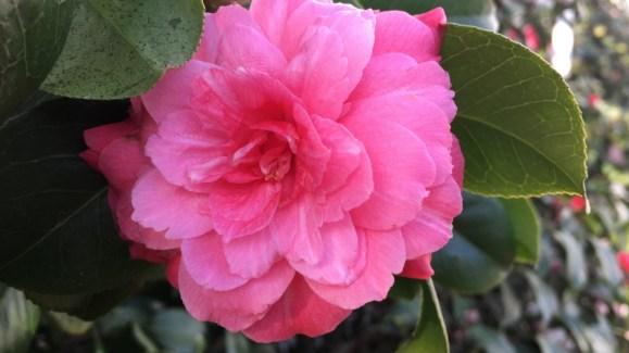 Chiswick House Camellia Show 1 Bridget Osborne