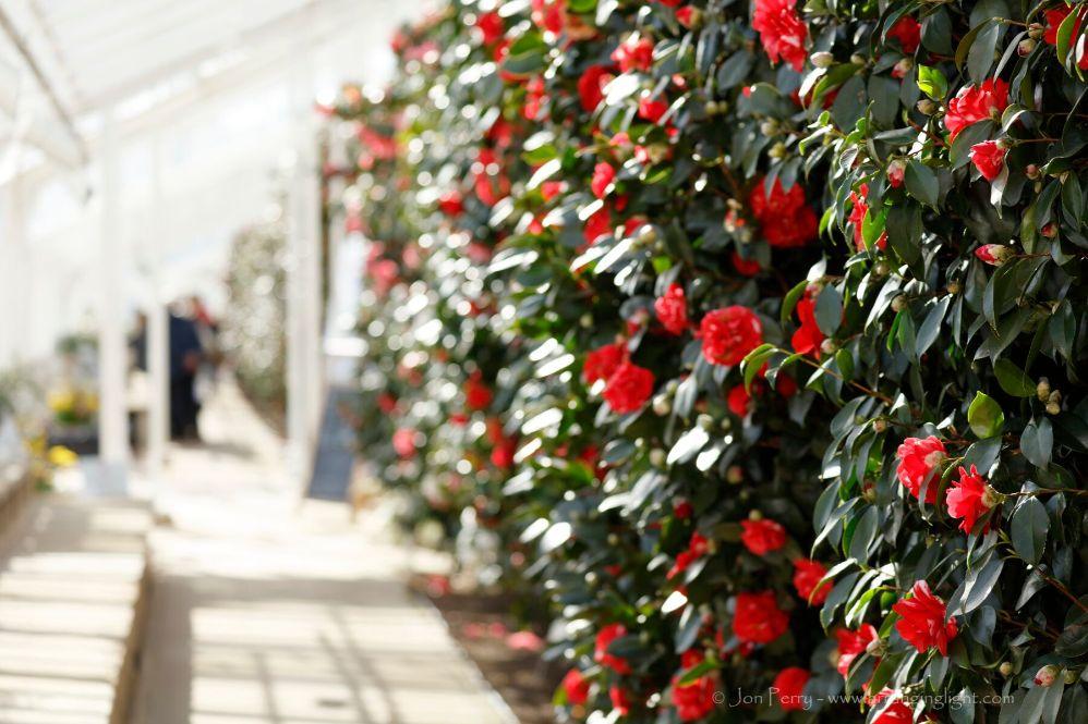 Camellias 4 Jon Perry
