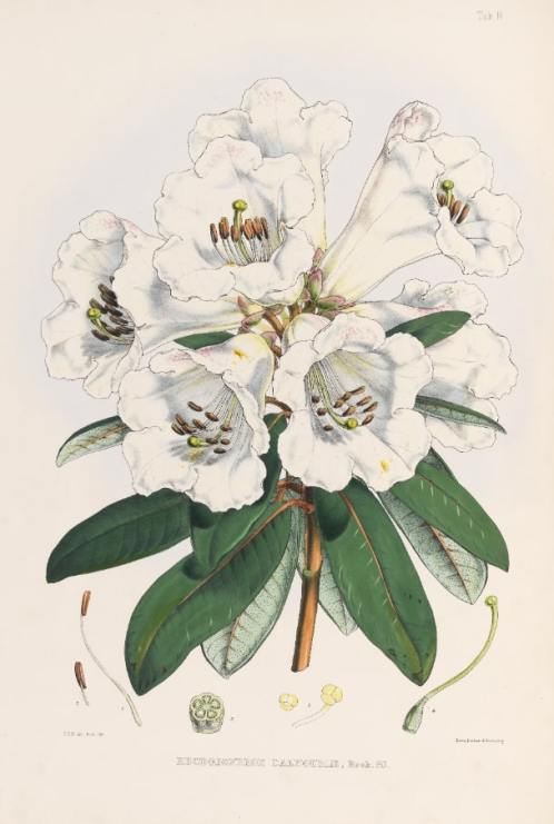 Capture 15 Rhododendron dalhousiae brought back from Himalayas by Joseph Dalton Hooker