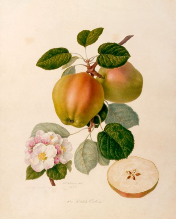 Dutch Codlin apple 1820 painted by William Hooker, grown at Chiswick by Robert Thompson_web