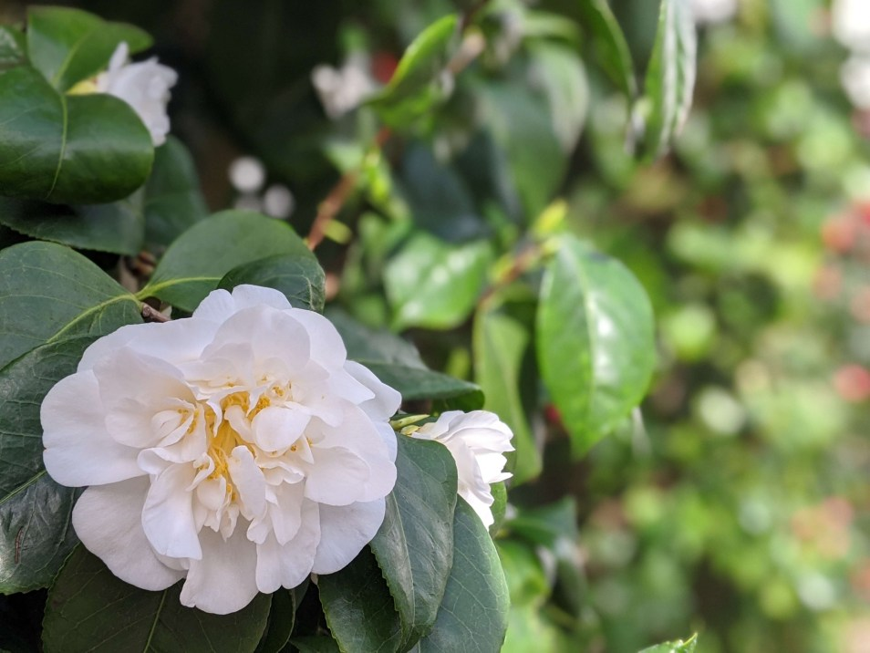 Chiswick House Camellia Show 13