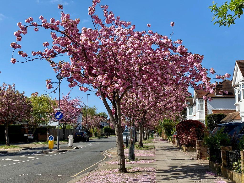 Jennifer Griffiths cherry blossom 2