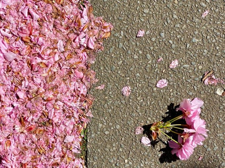 Jennifer Griffiths cherry blossom 4
