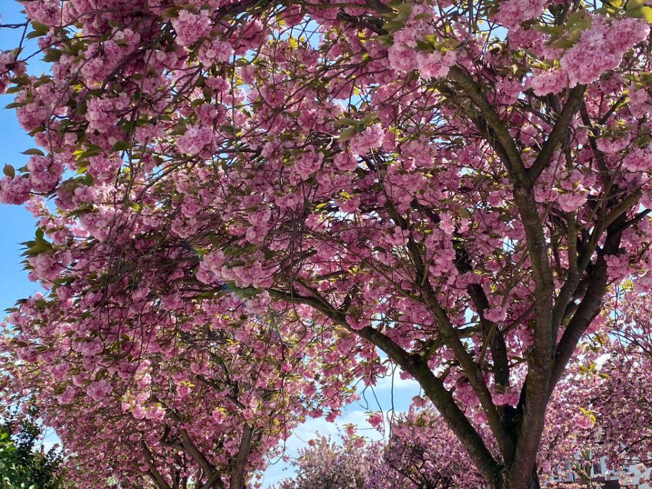 Jennifer Griffiths cherry blossom 5