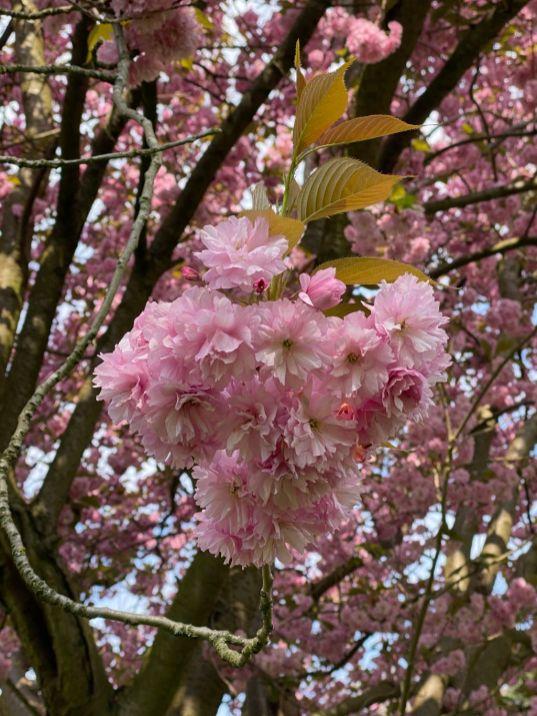 Jennifer Griffiths cherry blossom 7