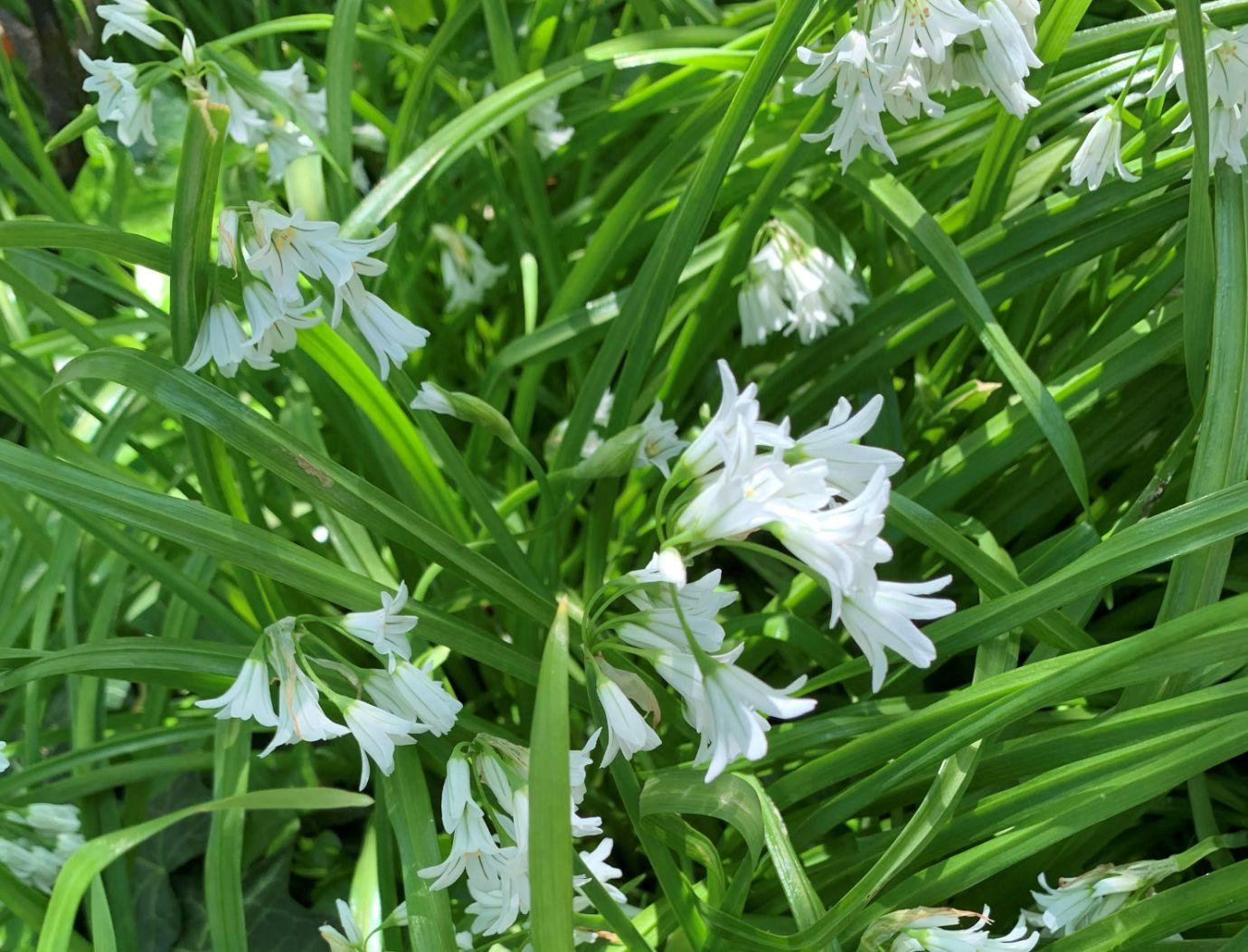 Wild garlic_web
