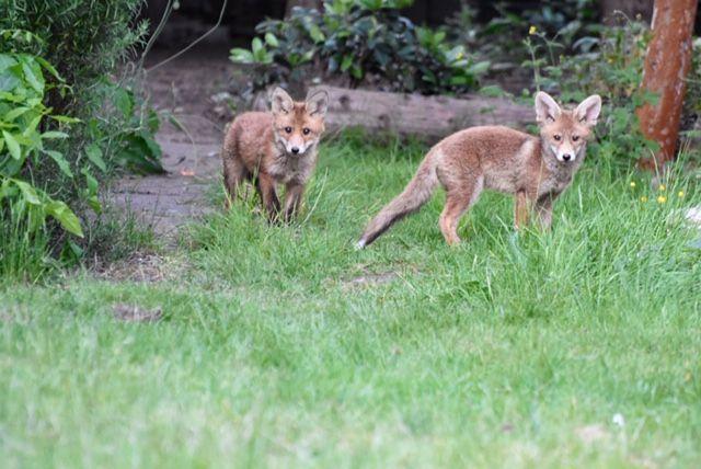 Fox cubs 10 - Mark Lawson