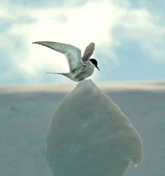 Animals - David Selby, Arctic Tern