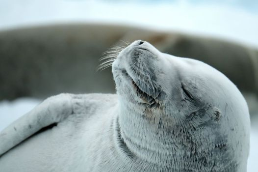 Animals - David Selby, Dozing Seal