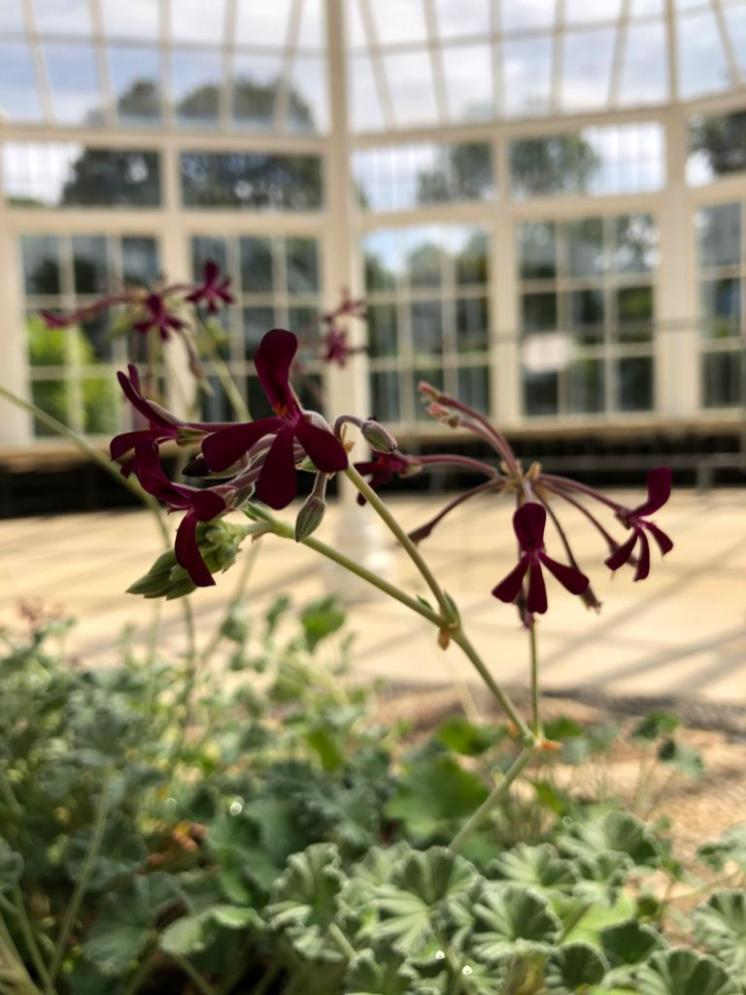 Lord Bute plant