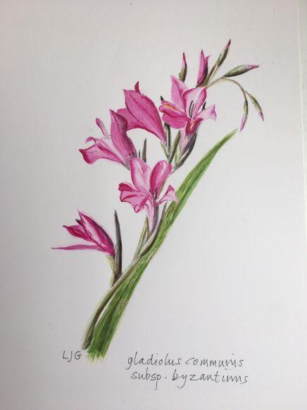 Louise Grattan - Gladiolus Communis