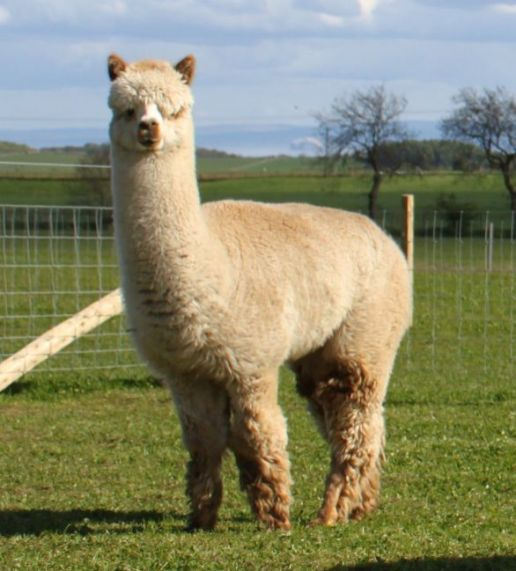 resized alpaca