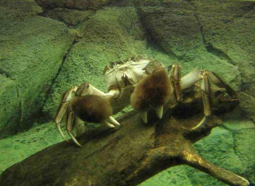 Chinese mitten crab 1