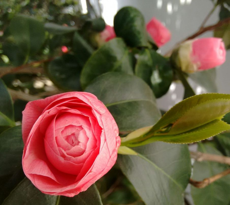 Camellias 9 Lucinda MacPherson