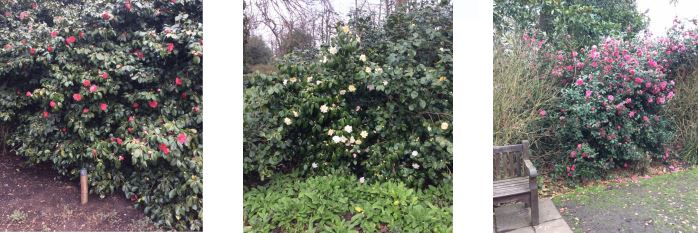 Camellias at Chiswick House Gardens