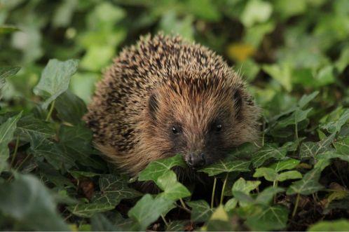 Hedgehog in leaves. Credit BHPS