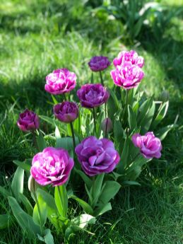 Pink tulips at Hen Corner_web