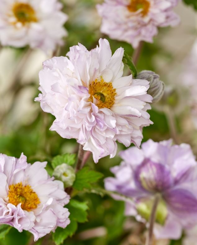 Anemone 'Frilly Knickers' 1