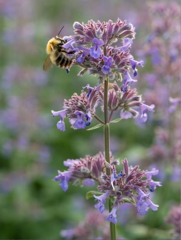 NEPETA grandiflora 'Summer Magic' 2